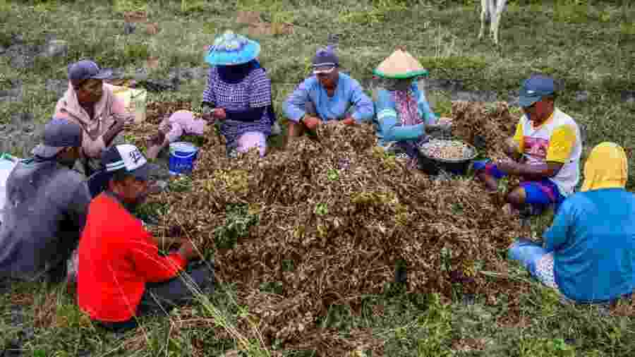 Agricultores separam amendoins na província de Sulawesi Central, na Indonésia - Getty Images