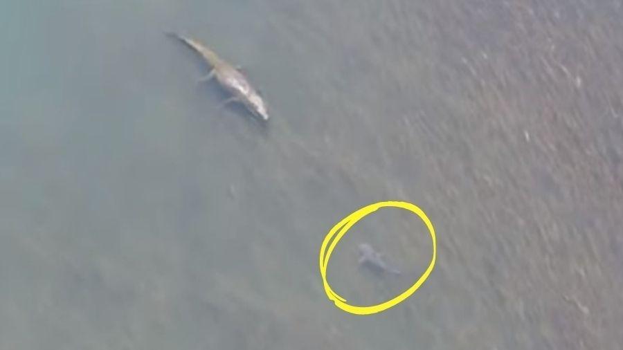 Crocodilo já salivava sua próxima refeição antes de o tubarão desviar - Reprodução/Youtube
