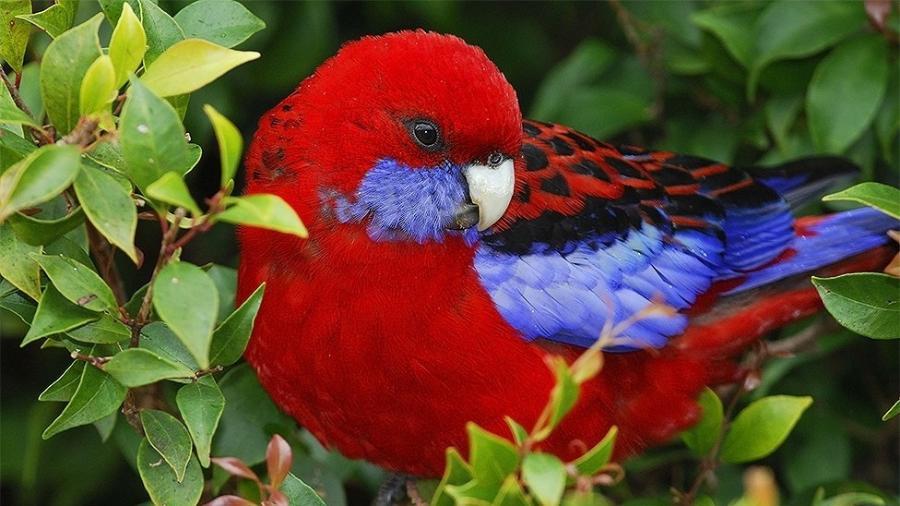 Os bicos dos papagaios australianos estão ficando maiores com o aumento da temperatura - Getty Images