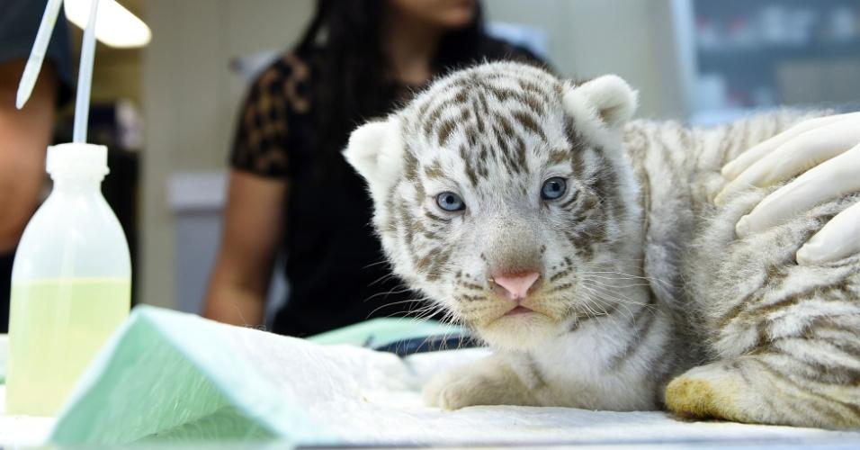 13.jul.2016 - Equipe do zoológico de Amneville, no leste da França, oferece cuidados a um dos três tigres-de-bengala recém-nascidos. Os animais foram pesados e ganharam chips de computador, além de passarem por cuidados médicos