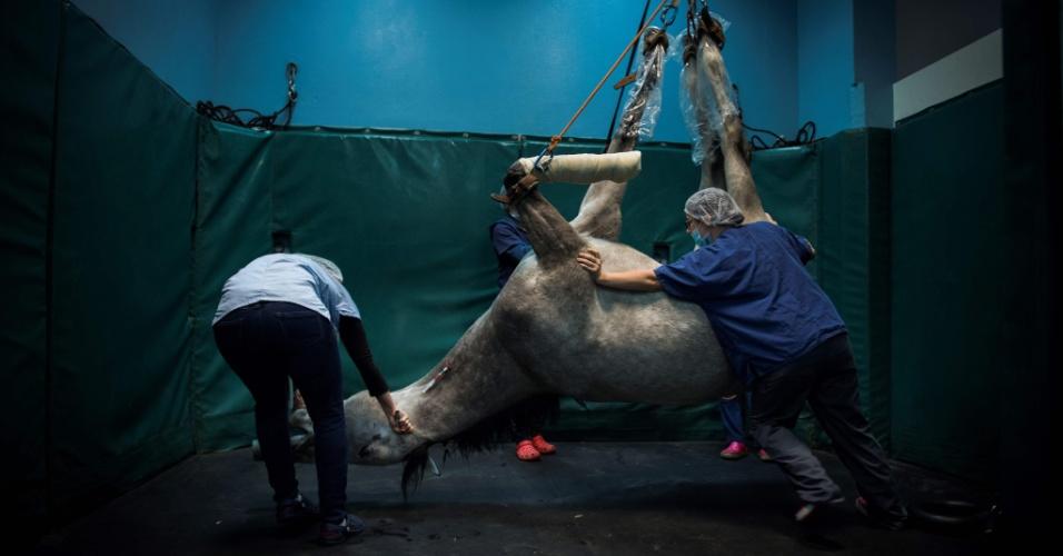27.dez.2016 - Cavalo é levado para sala de recuperação veterinária após passar por cirurgia em centro de treinamento equestre em Marolles-en-Brie, França
