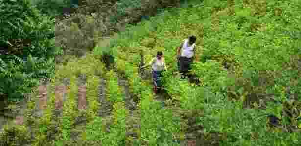 Plantação de folha de coca na Bolívia - Christian Tragni/Folhapress