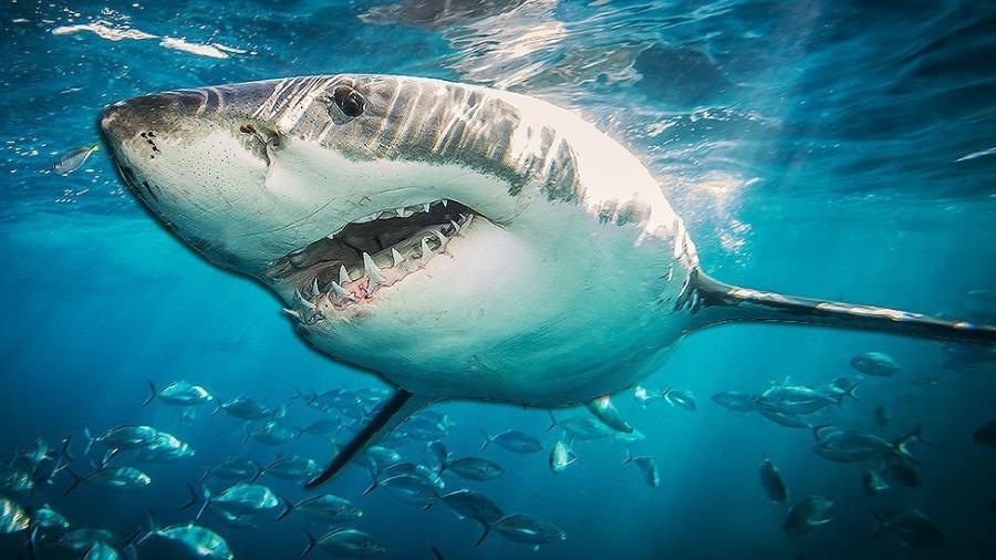 Tubarões-brancos podem ser o segredo para a cura do câncer e outras doenças relacionadas ao envelhecimento, acreditam especialistas - Getty Images