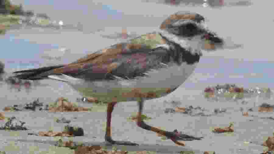 Batuíra semipalmata com óleo no bico, patas e plumagem na praia Feliz Deserto, em Alagoas - Renato Gaban-Lima/Laboratório de Morfologia Sistemática e Ecologia de Aves do Museu de História Natural da Ufal