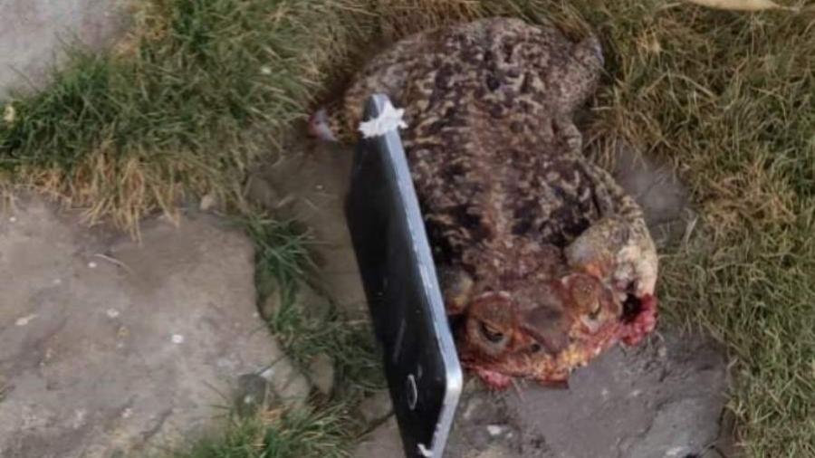 Sapo morto foi arremessado da rua para dentro de um presídio em Montes Claros (MG). Dentro do animal, os policiais encontraram um celular - Secretaria de Justiça e Segurança Pública de Minas Gerais