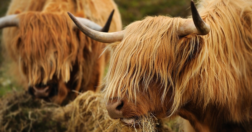 9.ago.2016 - Gado das montanhas na Ilha de Lewis, na Escócia. Nativo aquele país, esse gado é criado principalmente para o abastecimento de carne