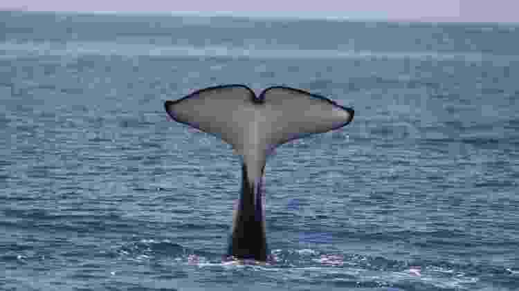 Cauda de uma orca - BBC - BBC