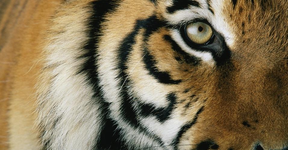 3.ago.2016 - Um tigre em cativeiro na Califórnia (EUA). Os maiores dos felinos, os tigres podem pesar mais do 270 quilos e atingir 3 metros de comprimento