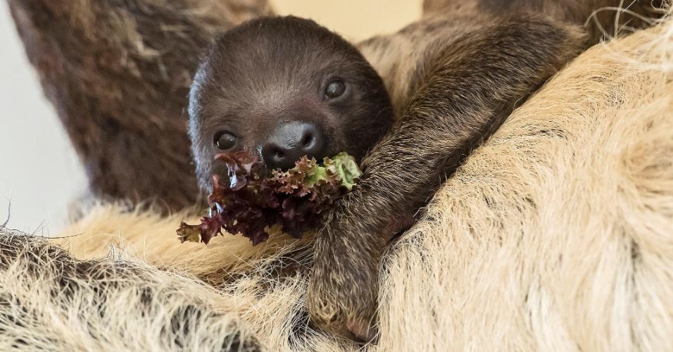 14.dez.2016 - Filhote de preguiça com menos de um mês de vida, come vegetais junto a barriga da mãe em seu recinto no jardim zoológico de Tiergarten Schoenbrunn em Viena, na Áustria