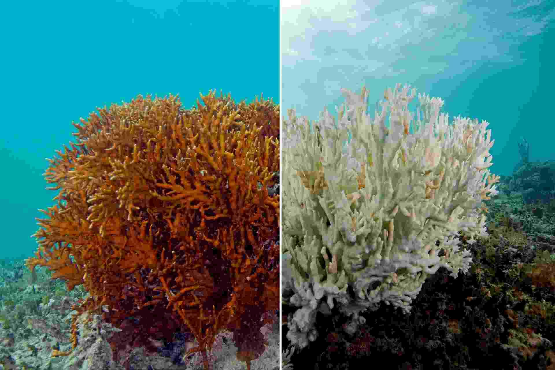 Montagem mostra um coral de fogo antes e depois do branqueamento. À esquerda, se pode observar um coral saudável, enquanto à direita ele está completamente branqueado. O branqueamento acontece quando os pólipos responsáveis pela formação dos recifes morrerem, oo que tem como fator o aquecimento das águas durante longo período de tempo - XL Catlin Seaview Survey/Divulgação