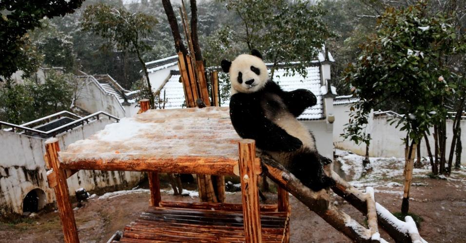 23.jan.2016 - Um panda gigante parece posar para foto enquanto brinca no Parque Ecológico de Pandas de Xiuning, na cidade de Huangshan (China), após neve cair no país asiático