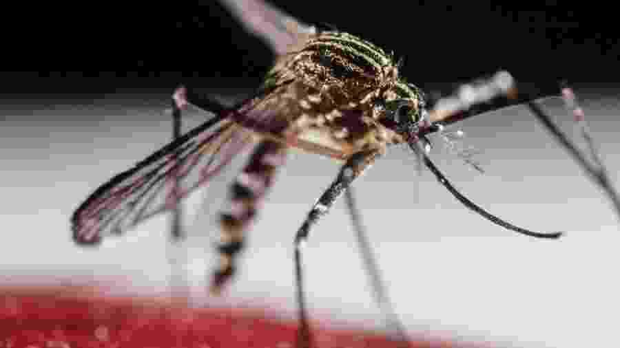 Mosquito Aedes aegypti transmite dengue - EPA