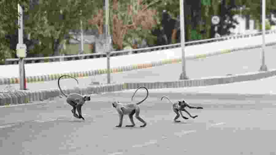 Macacos langurs correm por ruas desertas durante quarentena em Ahmedabad, na Índia - Sam Panthaky/AFP