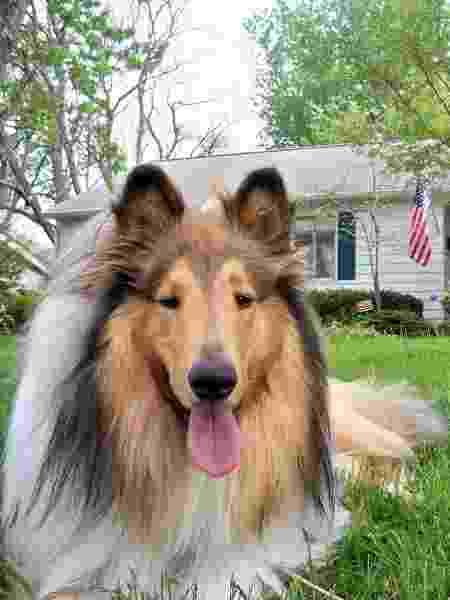 Cachorro da raça collie áspero  - Pixabay - Pixabay