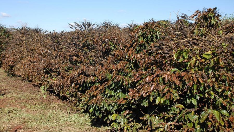 Geadas deste mês deixaram cafezais queimados - Divulgação/epamig