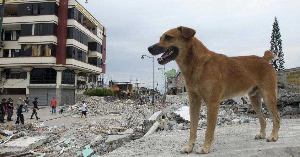18.abr.2016 - Cão observa os estragos causados por um terremoto no Equador. A busca por sobreviventes em Pedernales continua