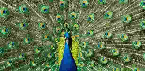 Um pavão macho com uma vibrante plumagem - Frans Lanting/National Geographic Creative