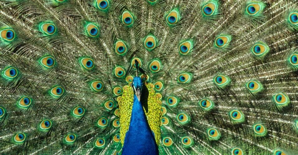 Espião. Um pavão mostra suas penas. A plumagem vibrante dos pavões machos conta com um