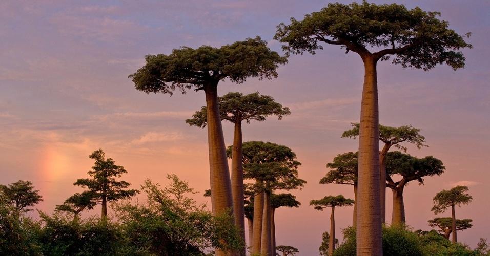 2.ago.2016 - Caminho com baobás em Madagascar. Nativo da África, o baobá é uma árvore pré-histórica que pode atingir 30 metros de altura e 9 metros de diâmetro