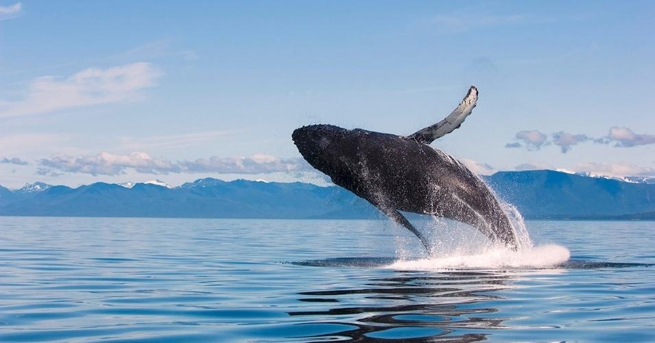 Baleia jubarte salta sobre a água no Alasca. Os cientistas não sabem exatamente porque as baleias saltam, mas acredita-se que os motivos são vários, incluindo comunicação e para se livrarem de parasitas