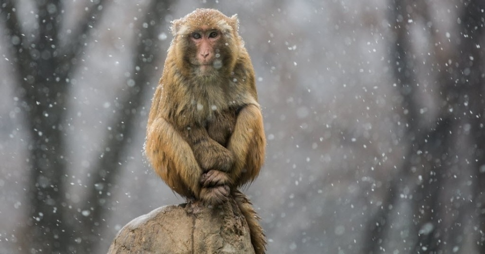 11.jan.2016 - Macaco observa a neve cair no parque Xiangshan, na China
