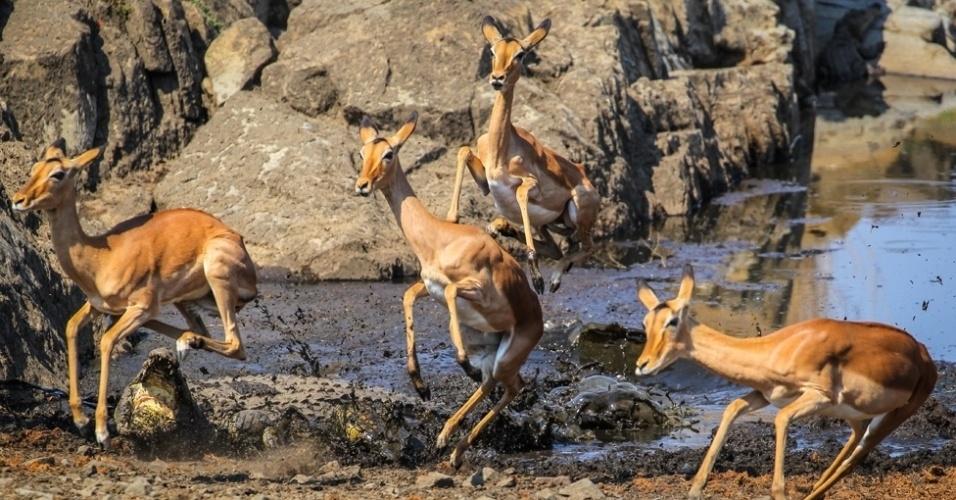 """4.abr.2016 - """"Todas as vezes que os impalas chegavam perto, o crocodilo atacava - quando um impala era corajoso o suficiente para chegar perto dos dentes do crocodilo, ou quando havia muitos impalas e o último a chegar acabava empurrando outros para a zona do ataque"""", diz o fotógrafo"""