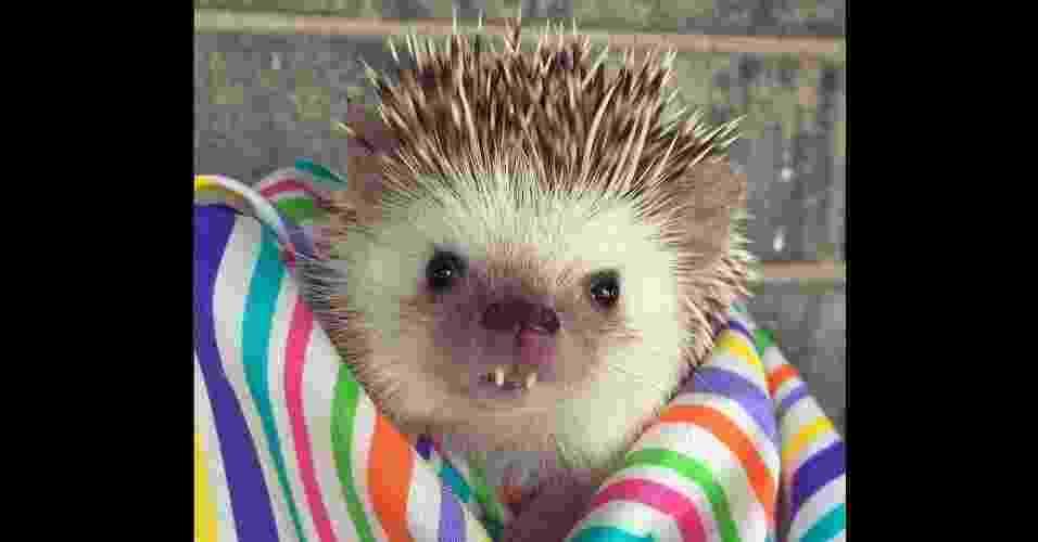 """6.mai.2016 - Esse pequeno ouriço pigmeu africano de Utah (EUA) ganhou as redes sociais com sua meiga (e, às vezes, assustadora) aparência de vampiro. Hodge Huffington, de três anos, adora exibir suas """"caras e bocas"""" em sua conta no Instagram (@huffthehedgehog), que já alcançou mais 34,8 mil seguidores - Reprodução/Instagram/@huffthehedgehog"""