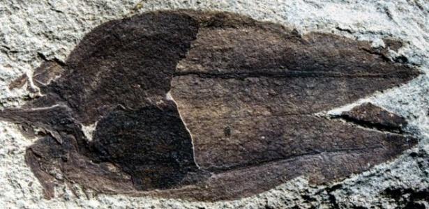 Fóssil de fruto encontrado na Patagônia argentina pode revolucionar o que os cientistas sabem sobre a evolução das plantas