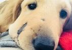O filhote de cachorro que levou uma picada de cascavel no rosto para salvar sua dona (Foto: Paula Godwin)