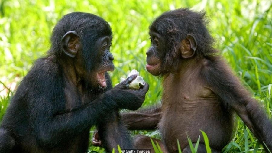 Bonobos fêmeas se unem para vencer machos agressivos - mas são mais inclinadas a fazer amor, e não guerra - Getty Images