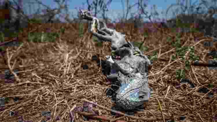 Iguana morta é encontrada em uma fazenda da transpantaneira. Voluntários suspeitam que ela tenha sido vítima da seca - FERNANDO FACIOLE/GRAD - FERNANDO FACIOLE/GRAD
