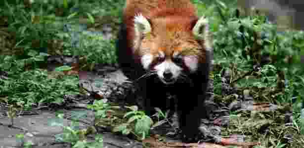 Panda-vermelho - Sean Gallagher/National Geographic Creative - Sean Gallagher/National Geographic Creative