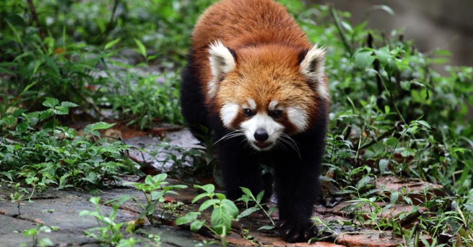 Solitário. Um panda vermelho caminha na floresta. A espécie calma e solitária geralmente é vista ao amanhecer e entardecer