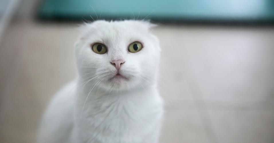 """Simoni provavelmente teve câncer de pele. A gatinha branca que chegou prenha a CCZ teve as duas orelhas amputadas cirurgicamente. """"Alguém que cuidava dela anteriormente provavelmente levou ao veterinário que fez a amputação da orelhinhas. É possível notar que foi uma intervenção profissional"""", conta Joyce Fujii. Os filhotes nasceram saudáveis no CCZ e foram adotados"""