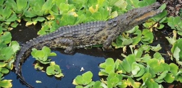 Um dos três crocodilos-do-nilo que foram encontrados em um pântano da Flórida