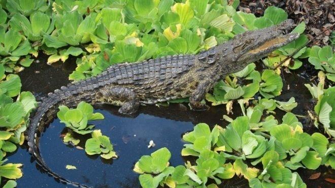 21.mai.2016 - Um dos três crocodilos-do-nilo que foram encontrados em um pântano da Flórida