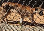 Animais comem uns aos outros e são comidos por pessoas em zoo da Venezuela - Monica Guevara/AFP