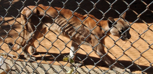 Puma com aparência magérrima no zoológico venezuelano