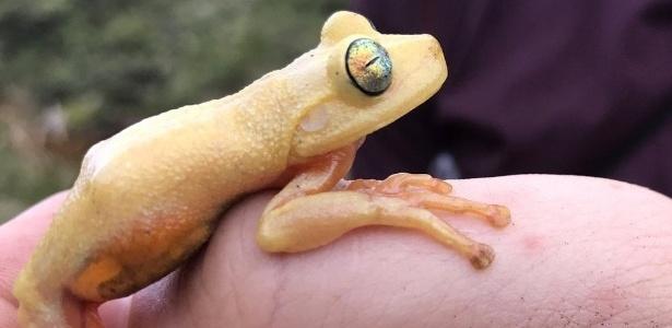 Myersohyla Chamaleo, espécie encontrada pela primeira vez no território brasileiro