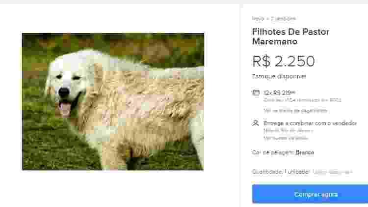 pastor maremano - Reprodução - Reprodução