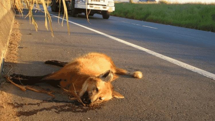 Estradas são uma ameaça ao lobo-guará - Rogerio Cunha/BBC - Rogerio Cunha/BBC