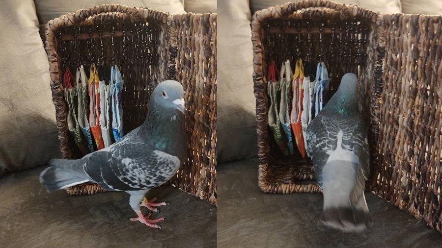 """O pombo Buddy possui um guarda-roupa feito sob medida pela artista e """"mãe"""" de 9 pombos Anastassia Fulmer - Reprodução/@lansingnaturestudy"""