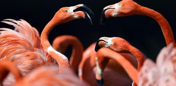 4.mai.2016 - Flamingos aproveitam o sol em seu recinto no zoológico de Colônia, na Alemanha