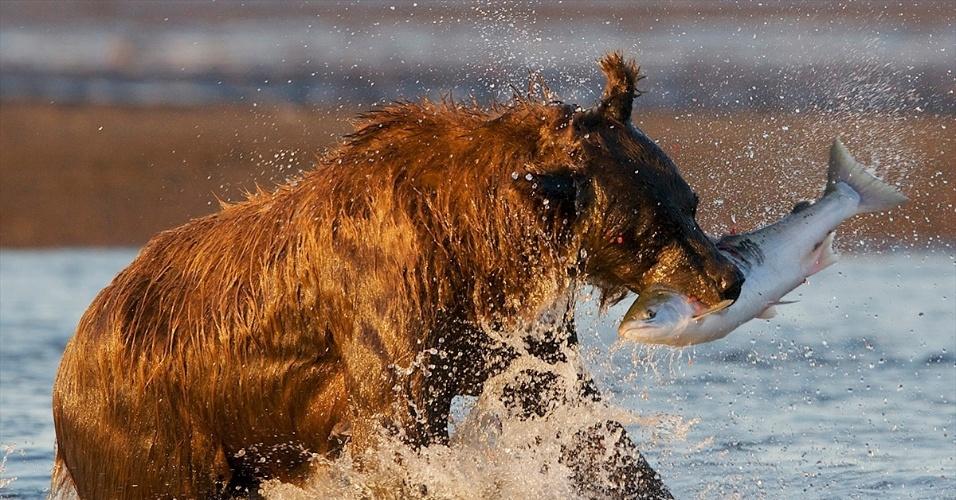 22.ago.2016 - Um urso marrom pesca um salmão no Parque Nacional de Lake Clark, no Alasca. Todo verão, na época da desova do salmão, os ursos vão a caça para ganhar peso e aguentar o inverno