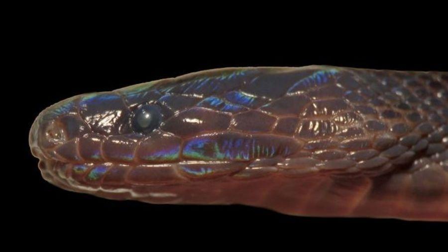 Pele da cobra oscila entre o azul e o verde, de acordo com a intensidade e cor da luz que recebe - American Society of Ichthyologists and Herpetologists/Smithsonian