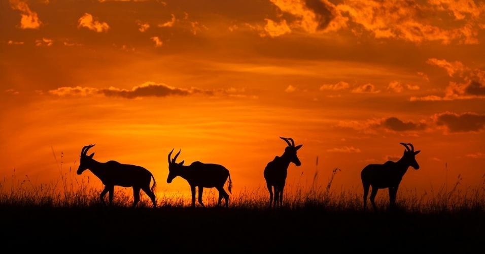 1º.mar.2016 -Ao nascer do sol, aparecem as silhuetas de um rebanho de topis, também conhecidos como damaliscos. A Reserva Nacional de Maasai Mara, no Quênia, é um local que todos os tipos de vida selvagem chamam de casa