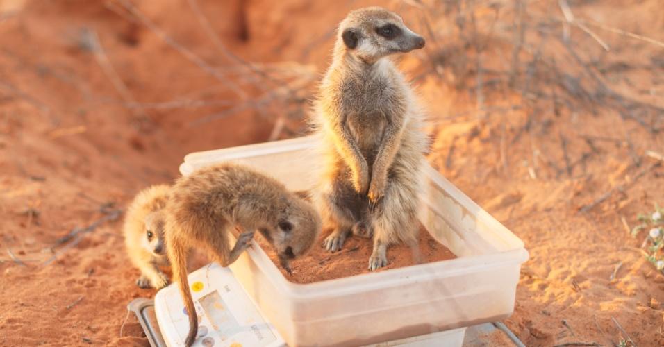 BALANÇA NO DESERTO - Projeto de monitoramento de suricatas (Suricata suricatta) no deserto do Kalahari pesa exemplares da espécie. Os suricatas já estão habituados à presença dos pesquisadores