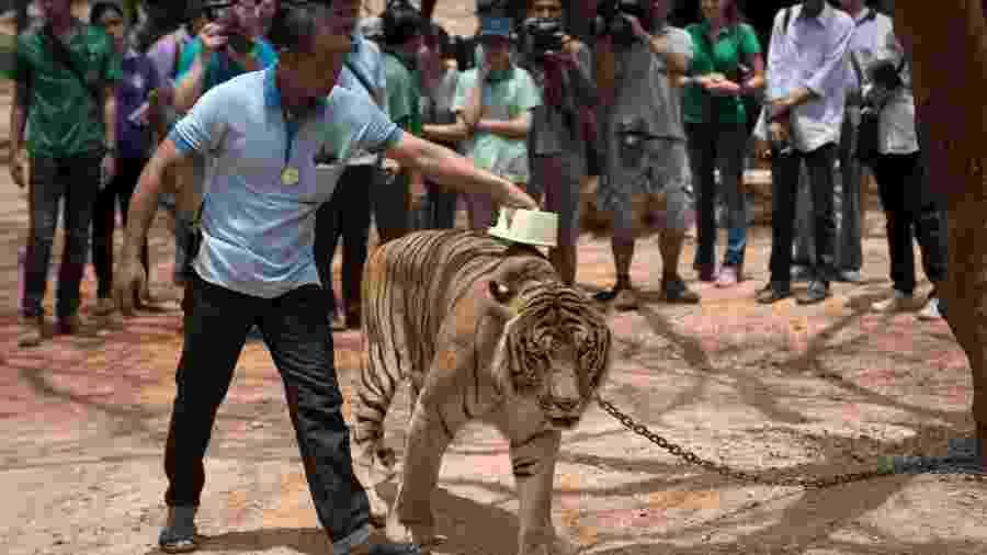24.abr.2015 - Tigres eram usados como atração turística no templo Wat Pha Luang Ta Bua, na província de Kanchanaburi (Tailândia) - Nicolas Asfouri/AFP