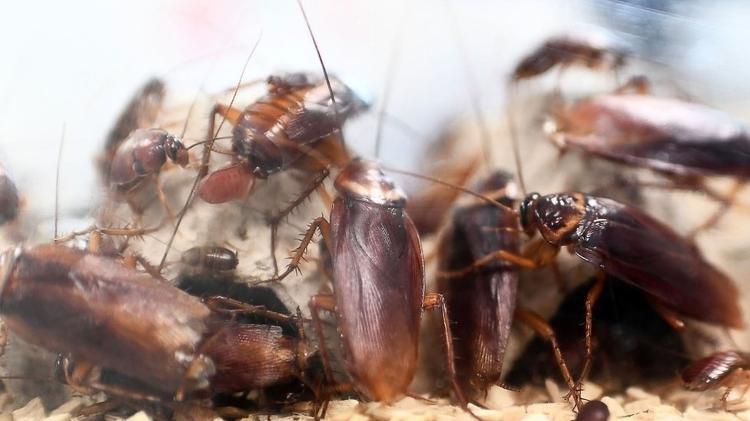 Declínio no número de predadores naturais pode causar aumento na população de insetos como as baratas - Getty Images