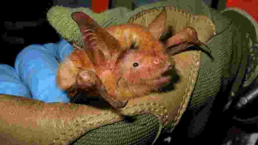 Espécie de morcego laranja e preto possui nome científico de Myotis nimbaensis - Reprodução/Bat Conservation International